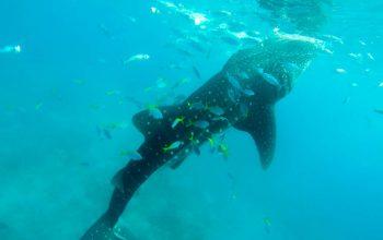 Плаваем с Китовой Акулой в Ослобе, Филиппины, 2015 год